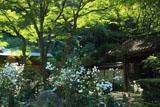 瑞泉寺 秋明菊と山門