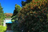 妙法寺 金木犀と総門