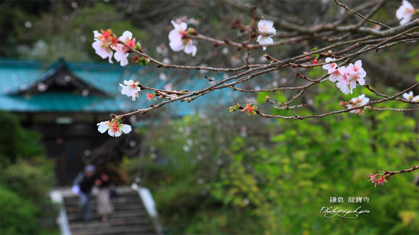 鎌倉龍宝寺の冬桜 壁紙