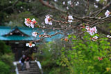 鎌倉龍宝寺の冬桜