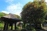 鎌倉円応寺 キンモクセイと鐘楼