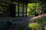 ヒメツルソバと円覚寺仏殿
