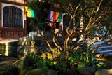 鎌倉安養院のツワブキ