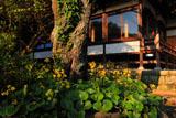 鎌倉安養院のツワブキと桜の幹