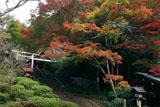 日向大神宮 十月桜と紅葉