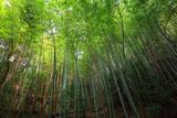 日向大神宮 傘谷の竹林