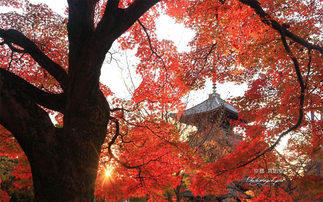 真如堂の紅葉と三重塔 壁紙
