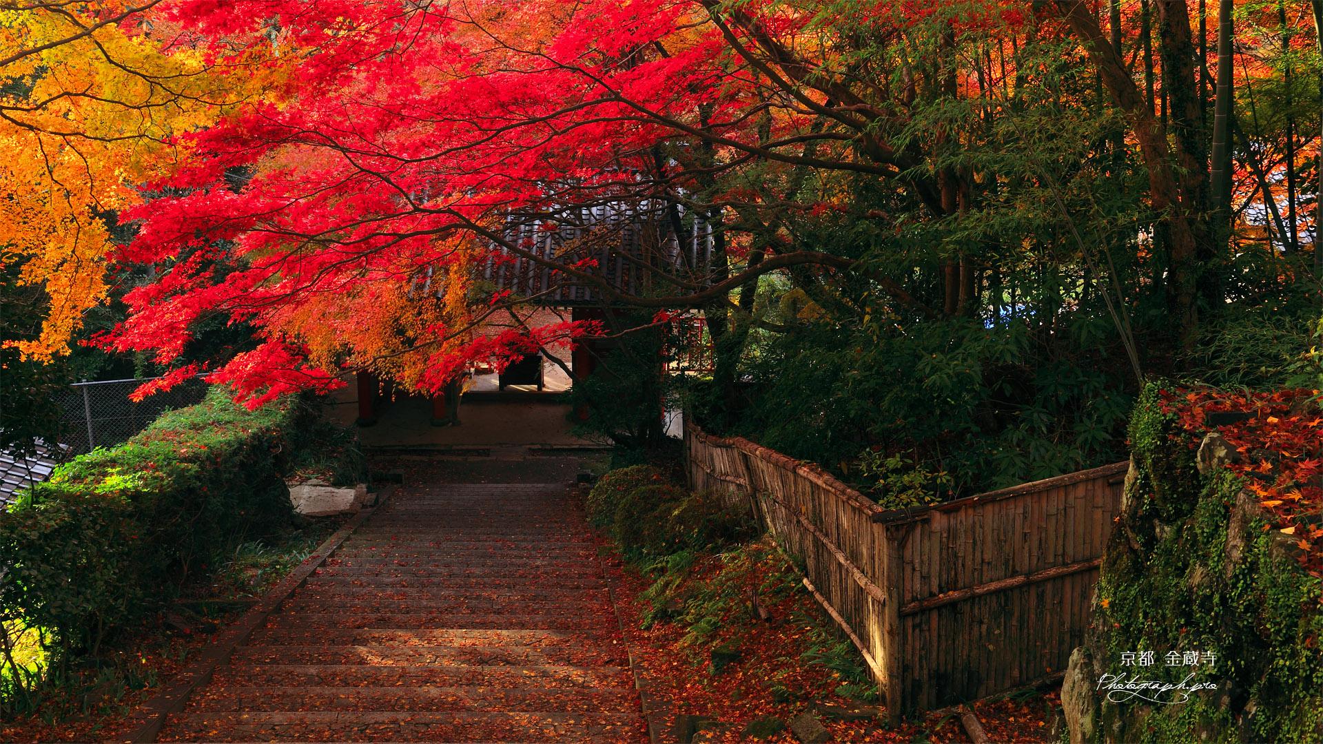 京都金蔵寺 参道の紅葉 の壁紙 19x1080