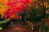 京都金蔵寺 参道の紅葉