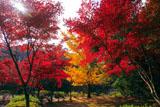 源氏山公園 楓紅葉と銀杏黄葉