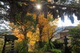 白山神社の大注連縄と銀杏の黄葉