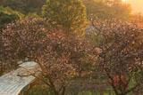龍宝寺 夕照の冬桜