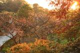 龍宝寺 ピラカンサスと冬桜