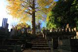 鎌倉久成寺 銀杏の黄葉