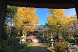 鎌倉成福寺 山門越しにイチョウの黄葉