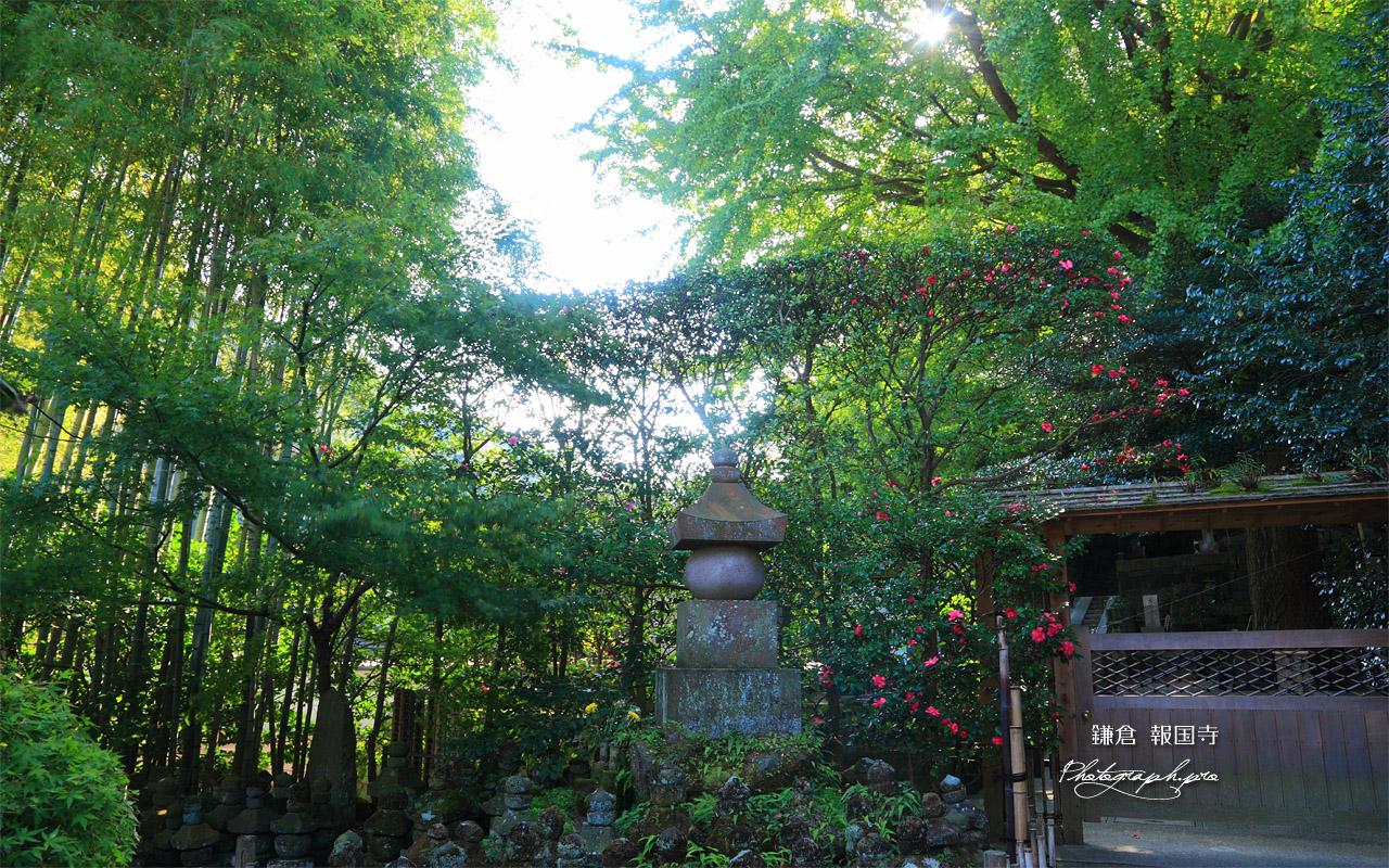 鎌倉報国寺 五輪塔群とサザンカ 壁紙