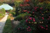 浄妙寺のサザンカ