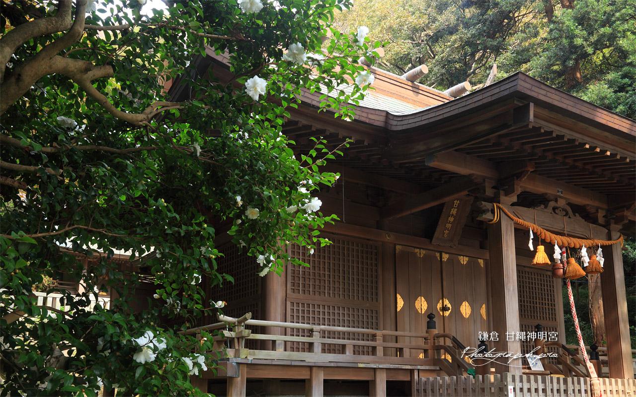 鎌倉甘縄神明神社 サザンカと拝殿 壁紙