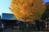 鎌倉青蓮寺 イチョウ黄葉と山門