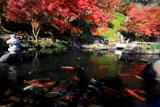 鎌倉長谷寺放生池の鯉と紅葉