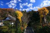 鎌倉来迎寺(西御門) イチョウの黄葉
