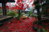 海蔵寺 敷き紅葉