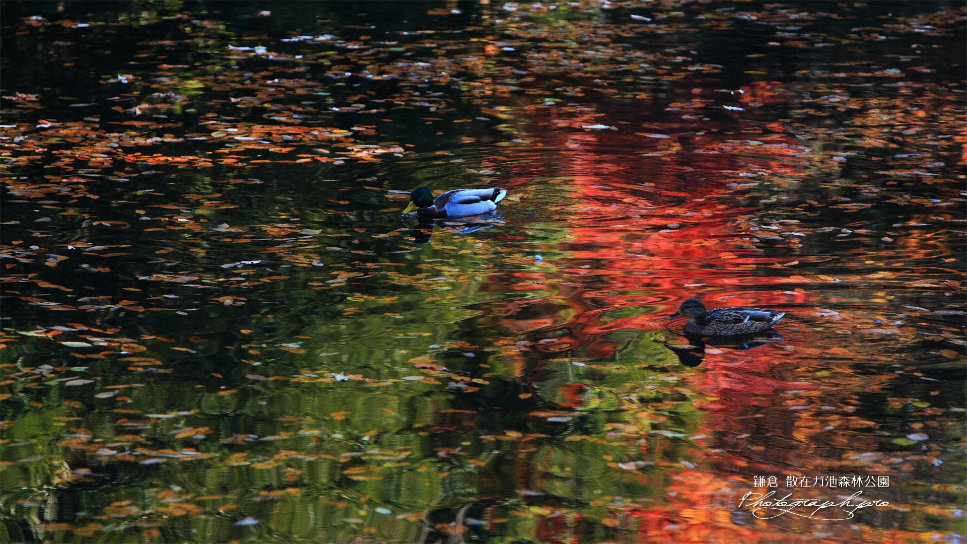 散在ガ池森林公園 散在ガ池の水鳥たち
