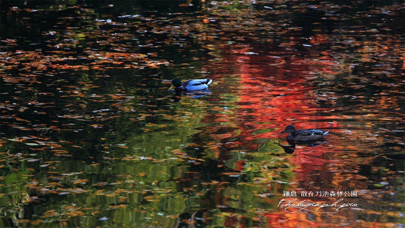 散在ガ池森林公園 散在ガ池の水鳥たち 壁紙