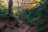 鎌倉化粧坂の黄葉