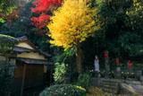 鎌倉黙仙寺宝物殿のイチョウ黄葉