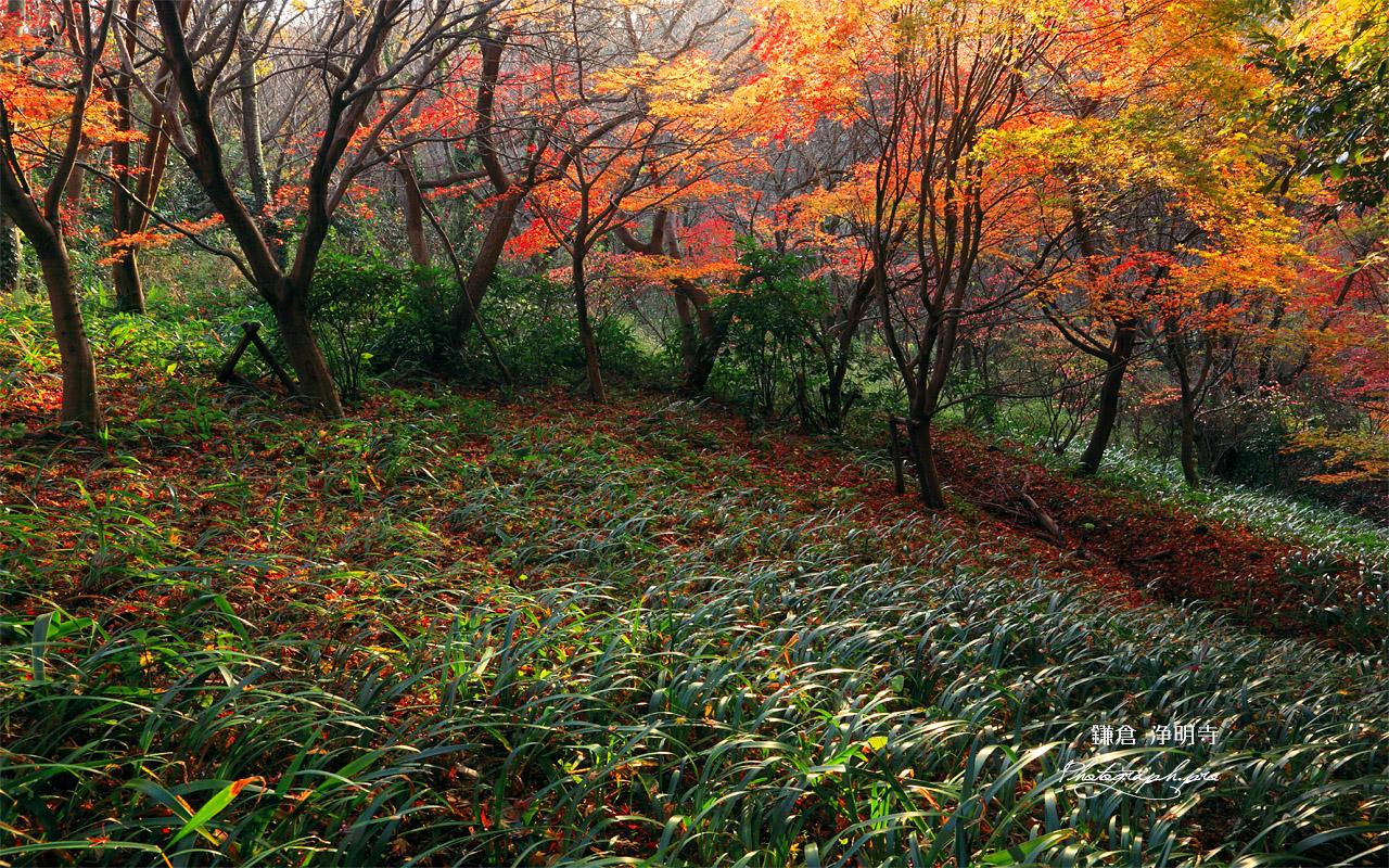鎌倉 紅葉と水仙の群生 壁紙
