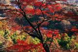 鎌倉 紅葉と水仙の群生