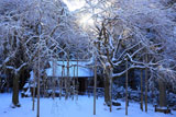 常照皇寺 雪化粧の九重桜
