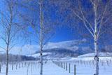 白樺の霧氷