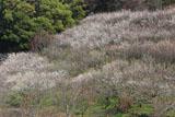 十二所果樹園 西梅園の白梅