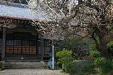 鎌倉円光寺 白梅と本堂