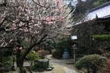 鎌倉円光寺 ウメ咲く境内