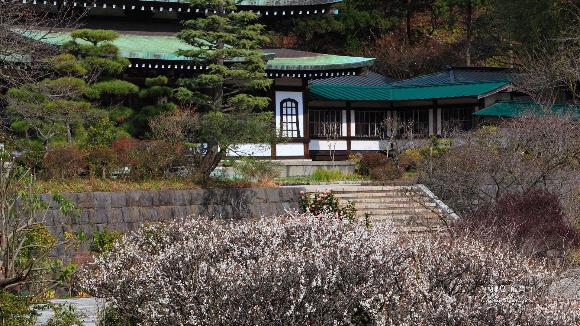 鎌倉龍宝寺 白梅と本堂