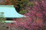 鎌倉龍宝寺 紅梅と本堂