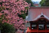 鶴岡八幡宮の河津桜と舞殿