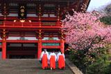 鶴岡八幡宮の河津桜と巫女