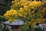 鎌倉来迎寺のミモザと本堂