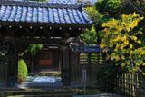 鎌倉實相寺 ミモザと山門