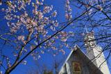 若宮大路 玉縄桜と雪ノ下教会