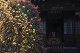 鎌倉収玄寺 サンシュユ