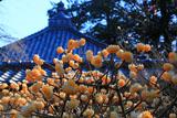 浄智寺のミツマタ
