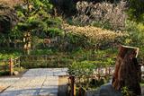 円覚寺黄梅院のミツマタ