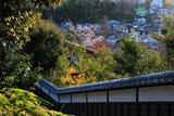 円覚寺雲頂菴のヒガンザクラ