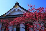 鎌倉妙隆寺のカンヒザクラ
