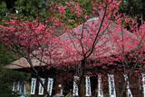 杉本寺の寒緋桜越しの本堂